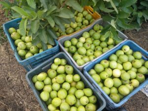 Harvested guava