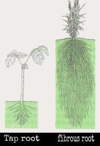 tap and fibrous root